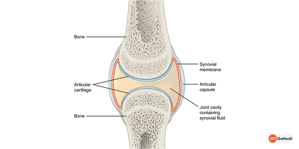 Synovial Membrane: Structure, Functions, and Pathology, Buy Medicine Online, Online Pharmacy Noida, Online Medicines, Buy Medicine Online Noida, Nearby Pharmacy, Purchase Medicine Online, GoMedii, Nearby Chemist, Medical Store Near Me, Cheap Medicine Online