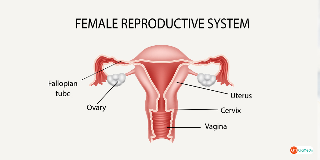 Know About Female Reproductive System How Gynecologist Can Help